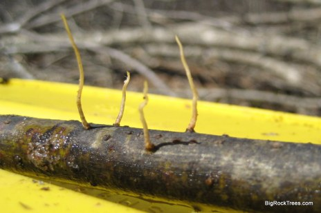 root development on a willow cutting